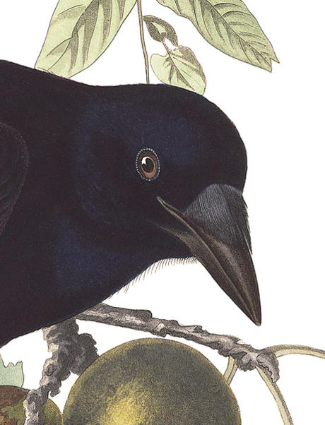 American Crow from Audubon guide