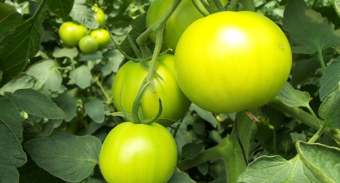 tomatoes are one plant hydroponically grown